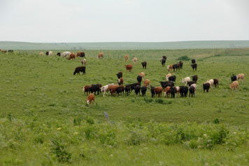 Land enrolled in the Grassland Reserve Program allows ranchers to graze cattle for economical gain while protecting, restoring, and enhancing their grassland.