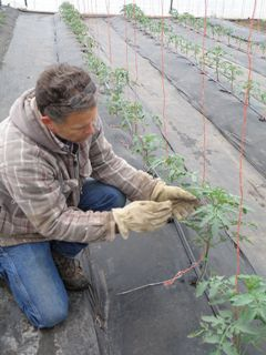 Randy Kelly shows the trellis system he designed for tomatoes to climb.