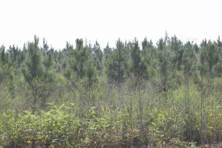 Pine Trees on a Conservation Reserve Program easement