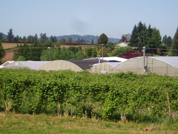 Multnomah County is 5th in caneberries and nursery/greenhouse production in Oregon