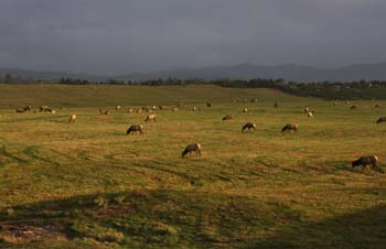 Herd of Elk Grazing through Clatsop Plain