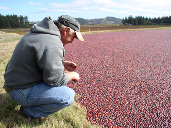 A cranberry grower looks over a cranberry bed
