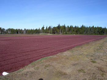Cranberries, a high value specialty crop, are grown in beds