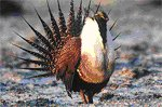 Sage Grouse image