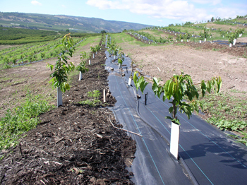 Newly planted cherries with micro-sprinkler irrigation and mulch. Photo courtesy of Dusty Eddy, Wasco County SWCD