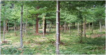 Forest Stand Improvement – Pre-commercial Thinning