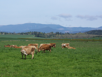 Dairy cows in the priority area for the Livestock and CAFO Implementation Strategy.