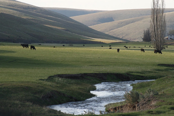 Cattle w/ creek and irrigated pasture: Four major perennial streams run through Morrow County providing irrigation, livestock water and wildlife habitat. 45% of the county is comprised of pasture and rangelands utilized by livestock growers.
