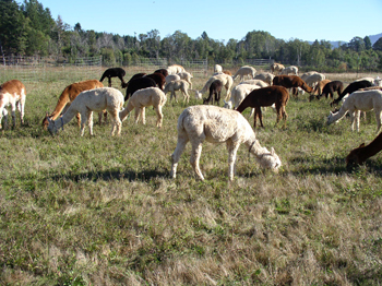Alpaca farm in the Illinois Valley and owned by John and Christine Gardiner produces top quality fiber