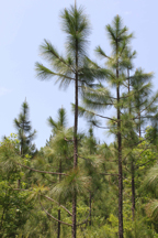 Image of longleaf pine trees at Clemons State Forest in Johnston County