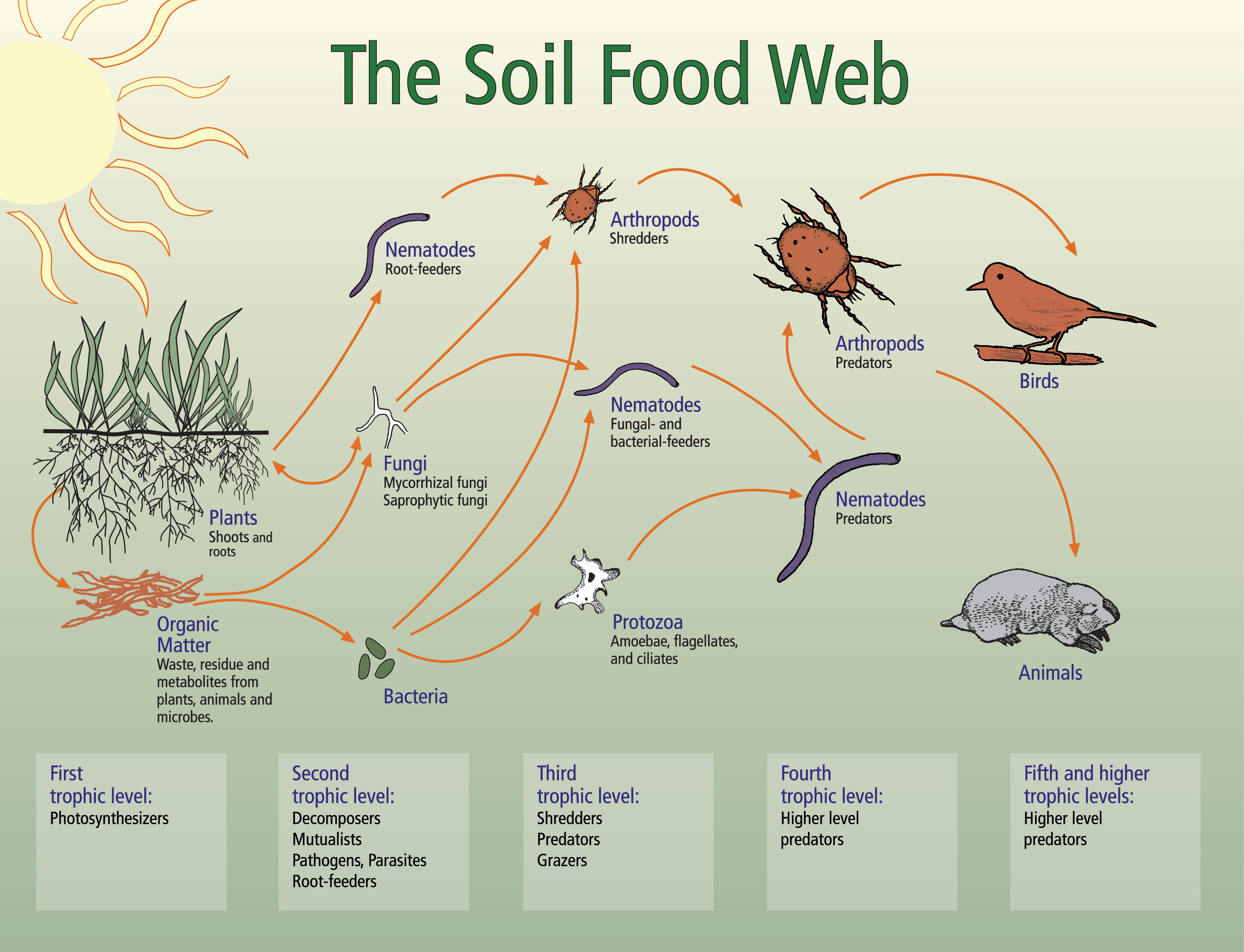 A few of the critters that comprise the soil food web.