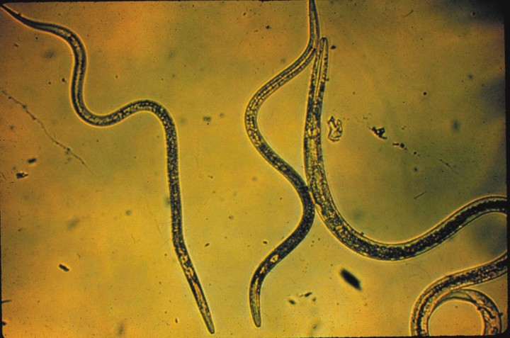 organic farmers and gardens use nematodes for pest control