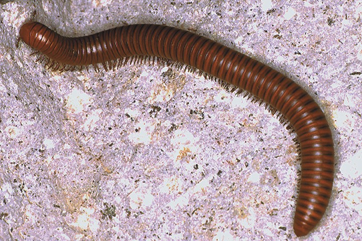 Millipedes are Shredders