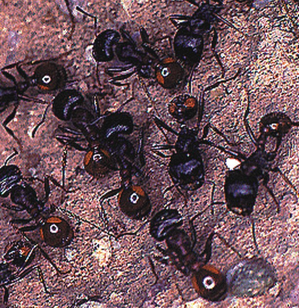 Rugose Harvester Ants