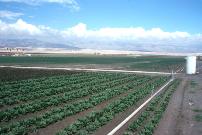 Photograph. Lettuce in the foreground is sprinkler irrigated. Bare patches in the field in the background show localized effects of salinity.