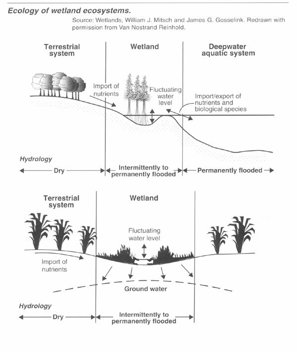 ecology of wetland ecosystem graphic