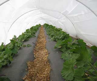 High tunnels, or hoop like this one the Padillas use, extend the growing season for their vegetables. This is a critical income booster for local food producers, helps protect natural resources and improves community access to healthy, local food earlier and later in the year.