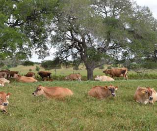 Since 1955, Stryk Jersey Farm outside Schulenburg in Fayette County, has been owned and operated by family members. Jersey cows rest and chew their cud in pastures green from recent rains.