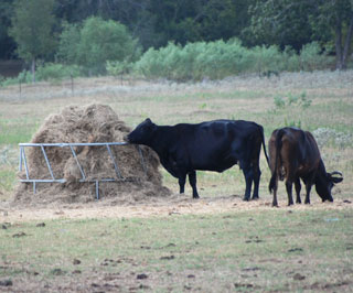 Ranchers choosing to feed their way through this drought are forced to meet cattle forage demands by substituting hay for the lack of pasture forage. Dwindling hay supplies in Texas now cost two and three times as much as normal, and forcing many producers to purchase hay out of state.