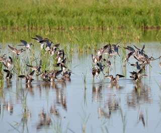 Migratory birds on journey to texas gulf region nrcs texas chambers county texas acreage enrolled in the migratory bird habitat initiative is home to numerous species of waterfowl and shorebirds sciox Choice Image