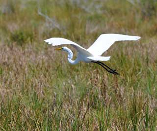 Migratory birds on journey to texas gulf region nrcs texas a great egret soars across coastal marshes in chambers county texas which hugs the gulf of mexico and lies in the central flyway zone sciox Choice Image