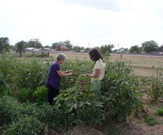 Garden volunteers pick vegetables and deliver to residents in the community.