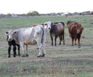 Many livestock in North Texas are losing condition due to the lack of adequate forage. Unlike this photo from Navarro County, the ranchers in this article have all made management decisions to protect livestock condition as well as maintain soil and forage resources.
