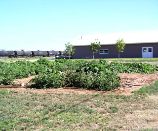 The Channing Community garden received timely rains this year to produce a bountiful harvest.