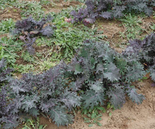 Sand Creek Farm in Cameron, Texas, produces many organically grown vegetables for public consumption throughout the year, including this Kale that is a purple-colored, robust wild cabbage. Kale is considered to be a highly nutritious vegetable with powerful antioxidant properties that has a sweet taste right out of the ground.