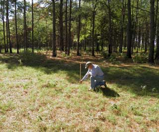 Ross Brown measures forage height in a 30-foot open silvopasture corridor used for grazing cattle.