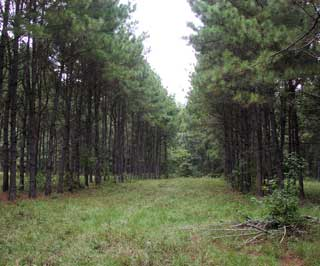 An established silvopasture of pines and forages for grazing.
