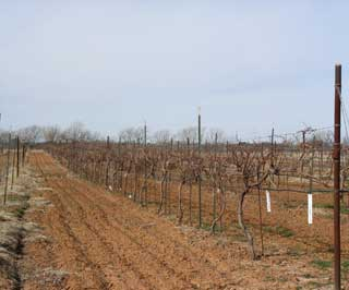 Vineyard at the Station in Stephenville, Texas.