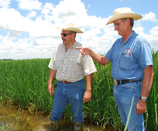 James Gentz, (right), who farms rice in Jefferson County, Texas, and operates Gentz Cattle Company and Tom Bresee, (left), NRCS civil engineering technician in Beaumont, wade into growing rice fields to assess plant quality. When harvested, Gentz will flood this field to create suitable habitat for migrating bird populations.