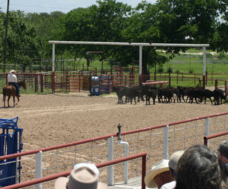 Dr. Ron Gill demonstrates low-stress cattle handling and herd-handling techniques in Bandera.