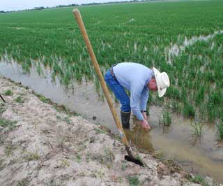 Raymond Dollins wades into one of his rice fields.