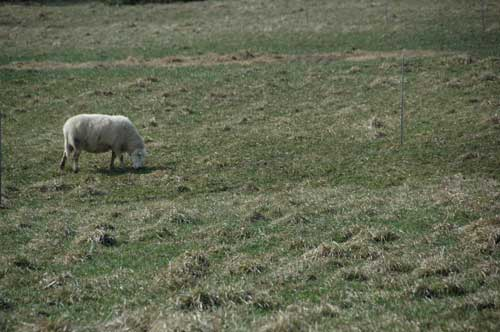 A sheep grazes on Martz' land.