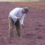 NRCS Soil Scientist Rob Tunstead taking a soil core on a cranberry bog.