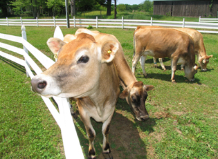Jersey cows grazing at Mapleline Farm.