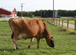 A cow grazes at Mapleline Farm.