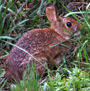A New England cottontail rabbit