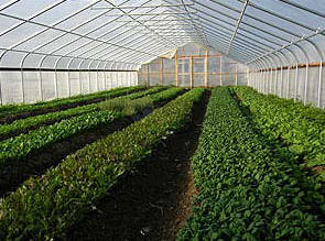 Crops growing inside a High Tunnel
