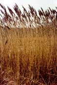 The invasive species Phragmites, growing high in a degraded salt marsh.