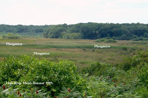 View of marsh in 1999, with invading Phragmites.