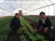 Picture of farmers growing vegetables in hoop house