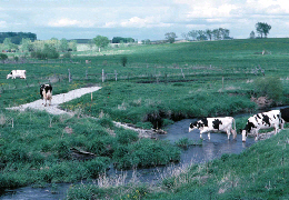 Web image: Photo of livestock using a constructed stream crossing. Click photo for full page view