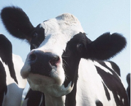 Web image: Close-up photo of a cow's face