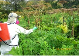 Web Image A Professional Plant Control Specialist Sprays Herbicide On A Patch Of Giant Hogweed