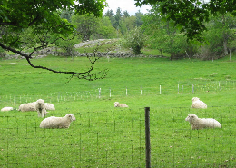 Sheep lounging inside a paddock of a rotational grazing system