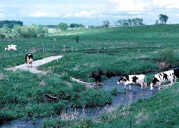 Livestock crossing a stream which leads to a constructed trail and walkway