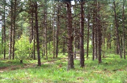 A forested area with Forest Stand Improvement applied